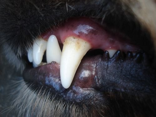 dentures for dogs